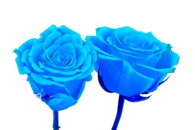 Das Bild zeigt stilisierte blaue Rosen. Diese Blumen sind sehr schwer zu züchten.