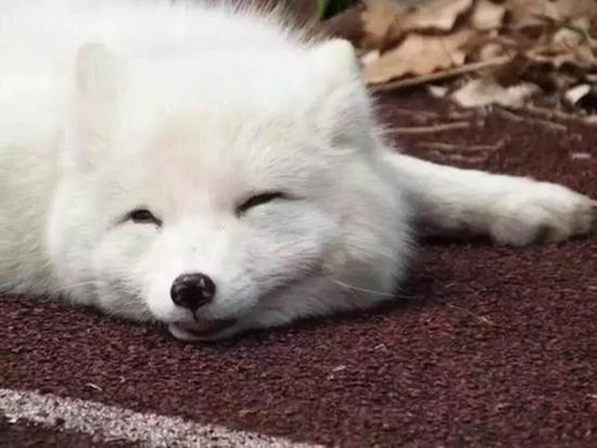Image result for white foxes