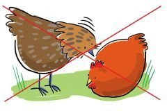 Tavuk Gagalama Taşı - Royal Avian Peckstone