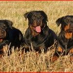 【大型犬 ロットワイラー】女性に噛み付き重傷負わせる 凶暴な犬種?飼い主の責任は?