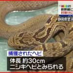 【誤報!?】ニシキヘビじゃない!東海道新幹線内で見つかったのはシマヘビ!?