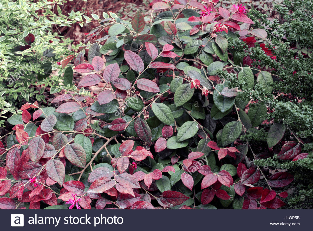 Loropetalum Purple Majesty