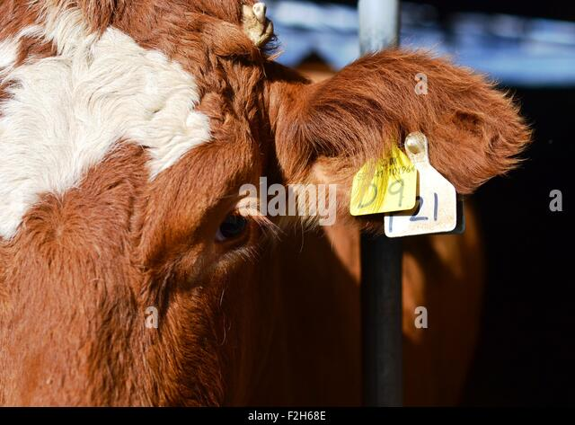 Ear Face Tag Stock Photos Amp Ear Face Tag Stock Images Alamy