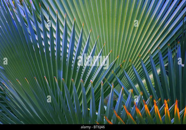 Fan Palm Tree Stock Photos & Fan Palm Tree Stock Images