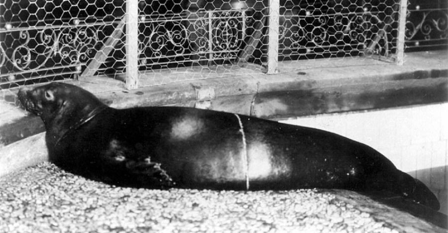 Карибский тюлень-монах