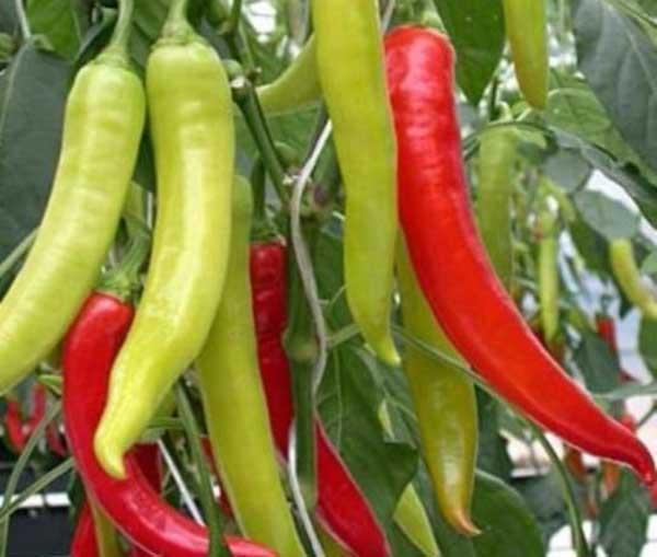 come usare il pepe di cayenna per il cancro alla prostata