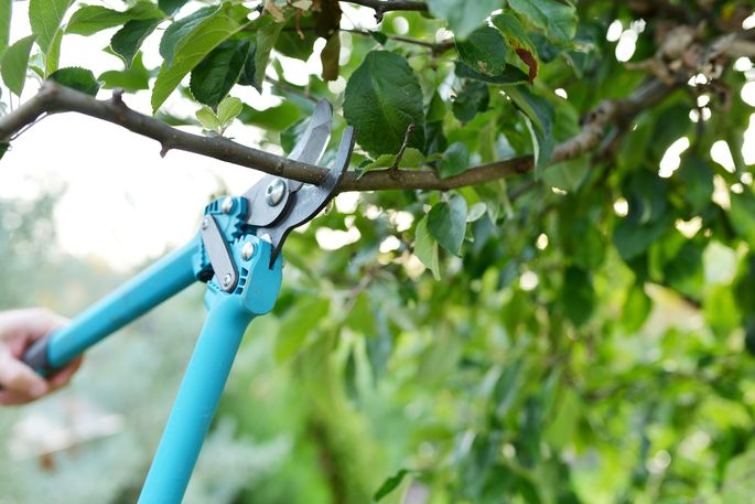 Summer is an ideal time to prune your trees.