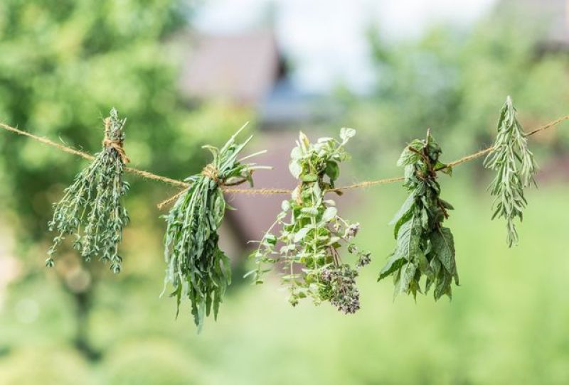 Harvest late-summer herbs and hang them to dry.