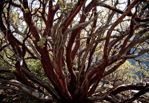 gorejący krzew