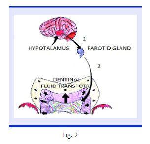 Dentinal Flow Transport