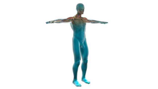 human-anatomy