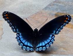 Image result for black butterfly