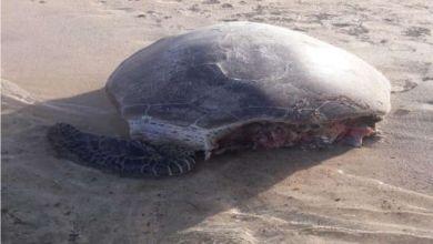 Photo of فؤاد تؤكد : الواقعة طبيعية وهى مرتبطة بسلسلة الغذاء فى الحياة البحرية