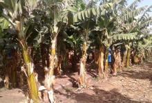 Photo of اهالى فرسيس ببنها يستغيثون بمحافظ القليوبية من زراعات الموز