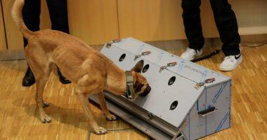 تدريب كلاب بوليسية على كشف كورونا فى عَرق الإنسان