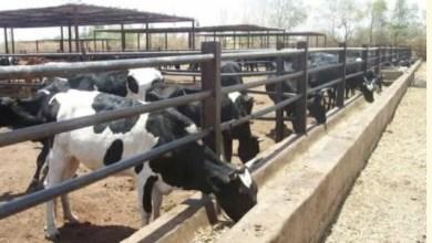 السودان: كارثة تضرب إنتاج الالبان وتوقعات بإنعدامه بالخرطوم