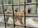 Royal Bengal Tiger - Raja
