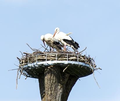 Neues Storchenpaar, das seit Ende April den Horst in Hambrücken bezogen hat.
