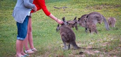 Peting the Kangaroos