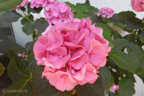 rosa blühende Hortensie