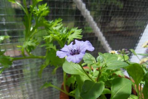 blaue Sommerblume
