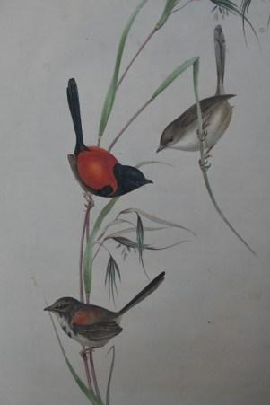 redbacked-fairywren
