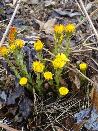 Flora im Rottal - Tussilago farfara - Huflattich