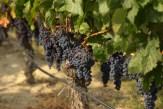 #115 Okanagan Grape Vine