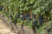 #130 Okanagan Grape Vine-1