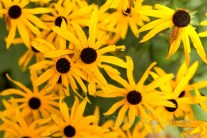 #195 Black-Eyed Susans