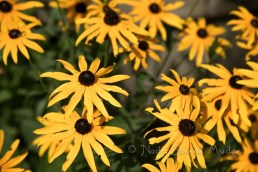 One-Eyed-Susans