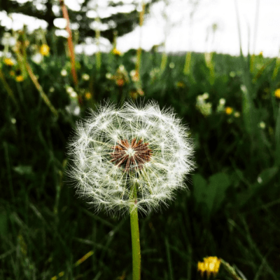 Walk30Days - dandelion