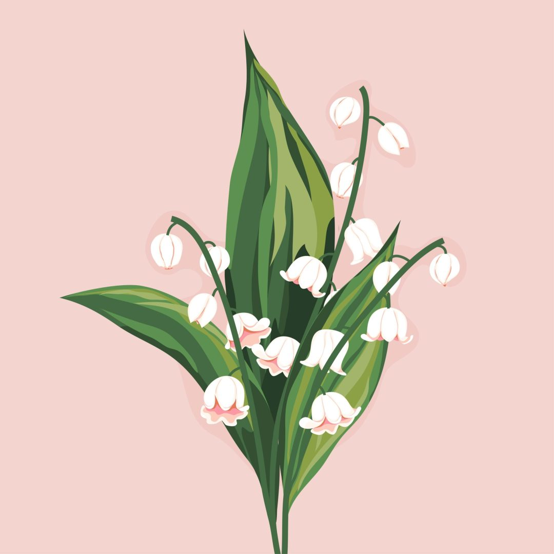 Lily of the Valley flower illustration