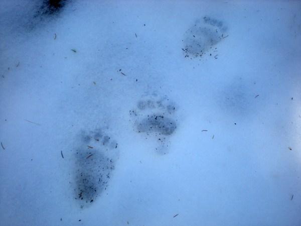 Bear-Prints-Nadir-Chacin
