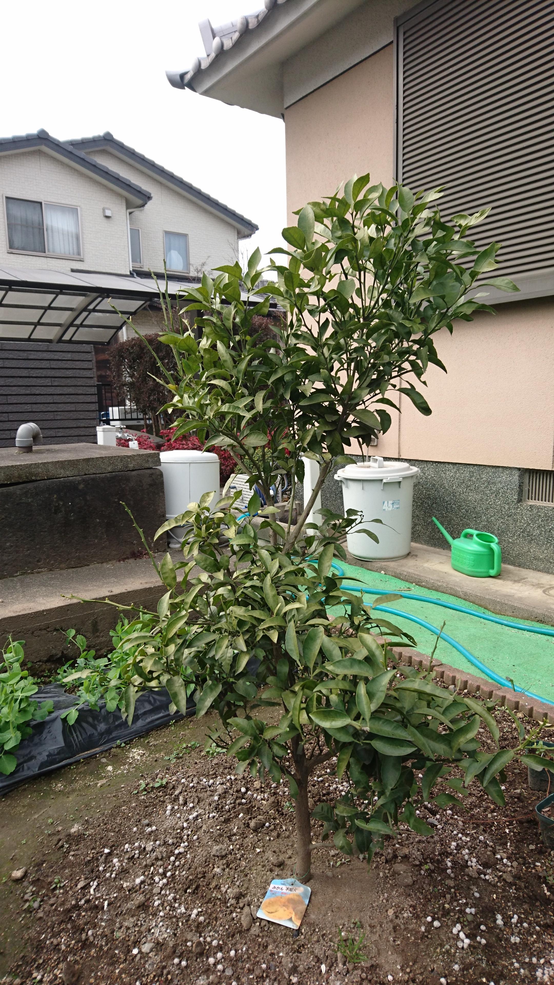 地植えした果樹の肥料の与え方とデコポンの冬の剪定