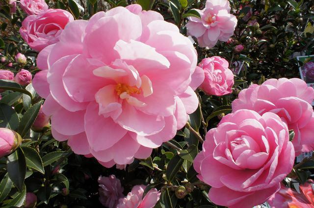 長野県北部で山茶花を冬に植え付けできますか?