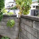 イチジクの幹に食い込むビニール帯