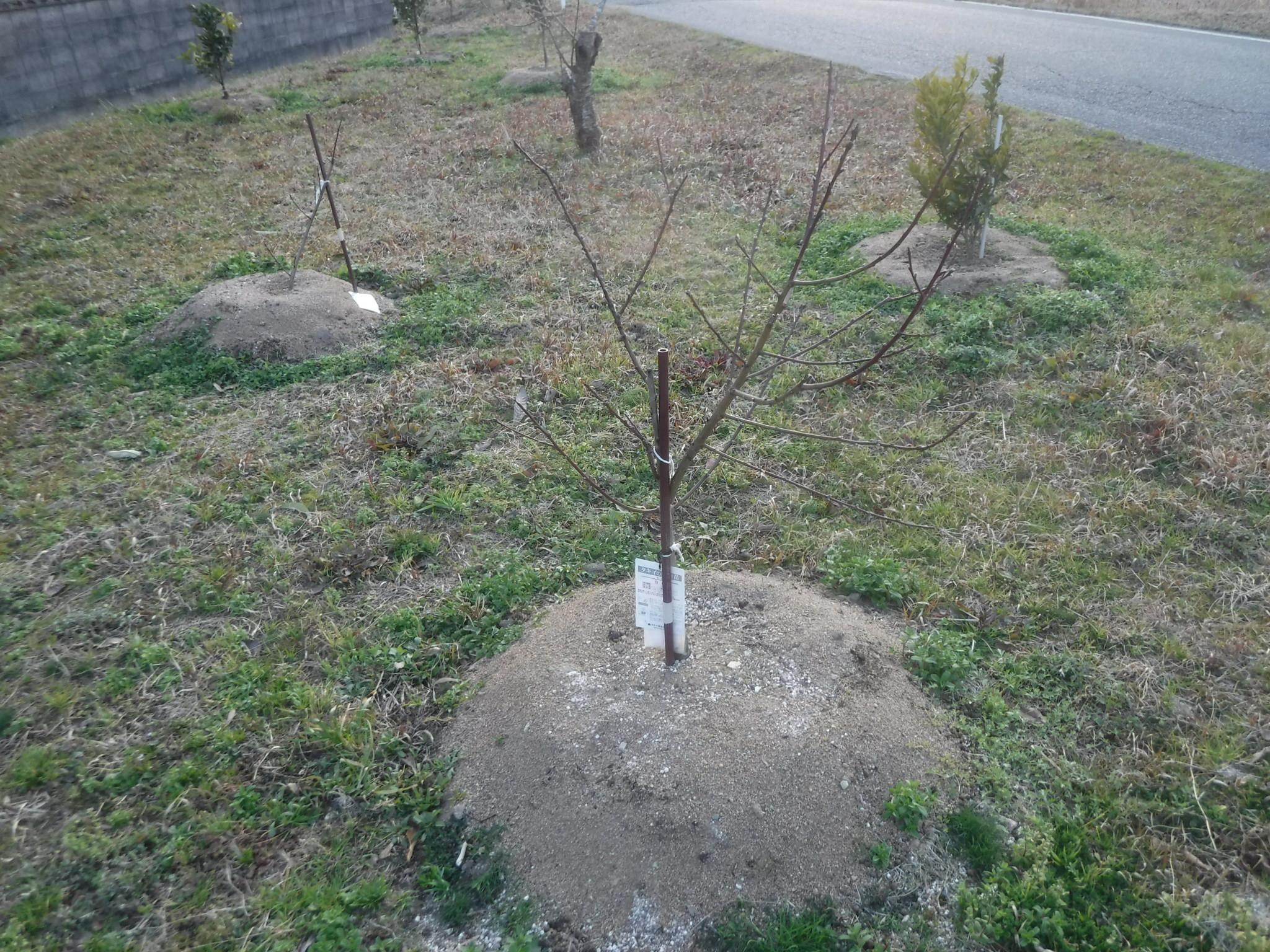 桃の2年目の冬の剪定方法