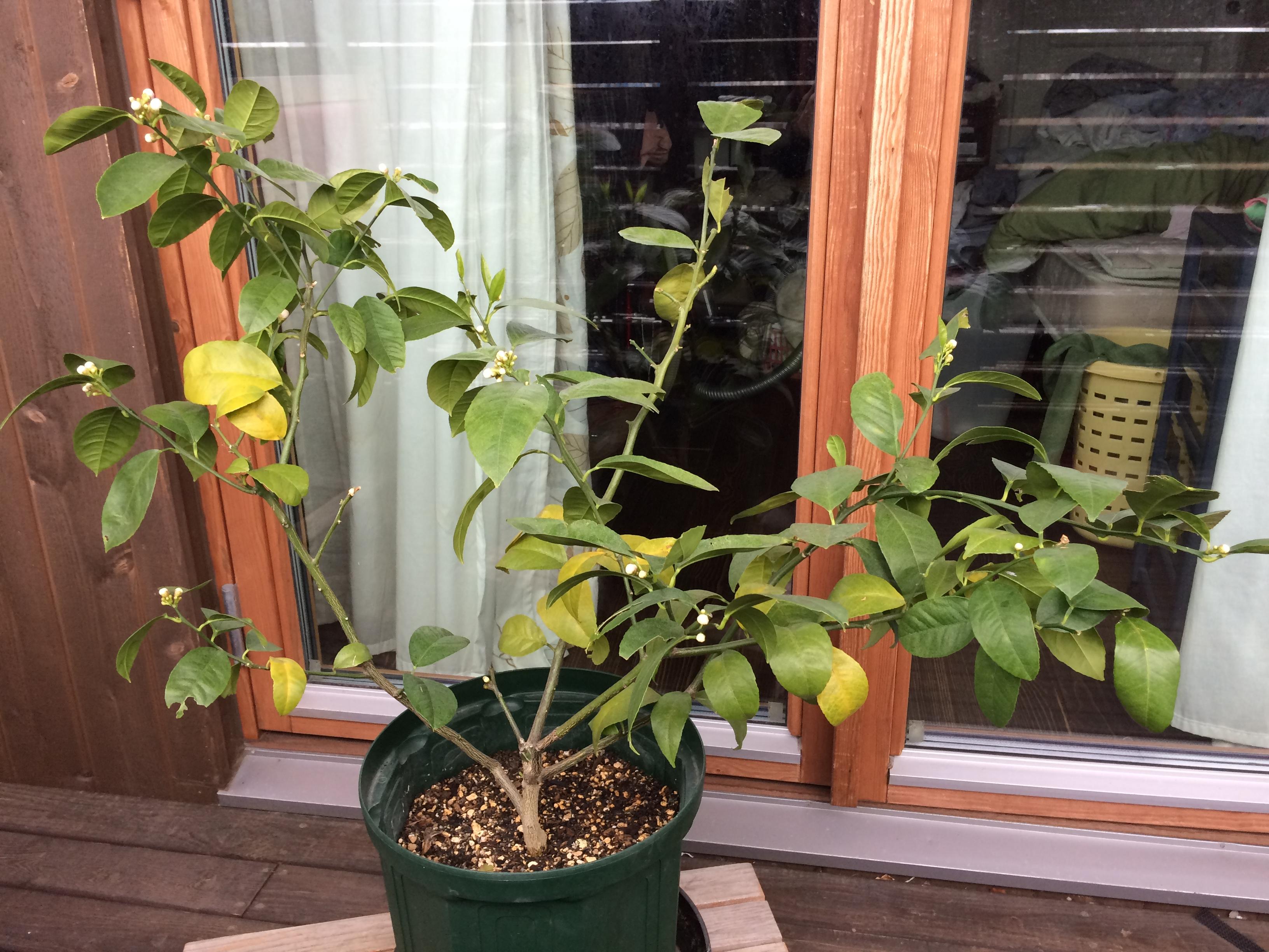 3月に咲くレモンの花は咲かせても良いですか?
