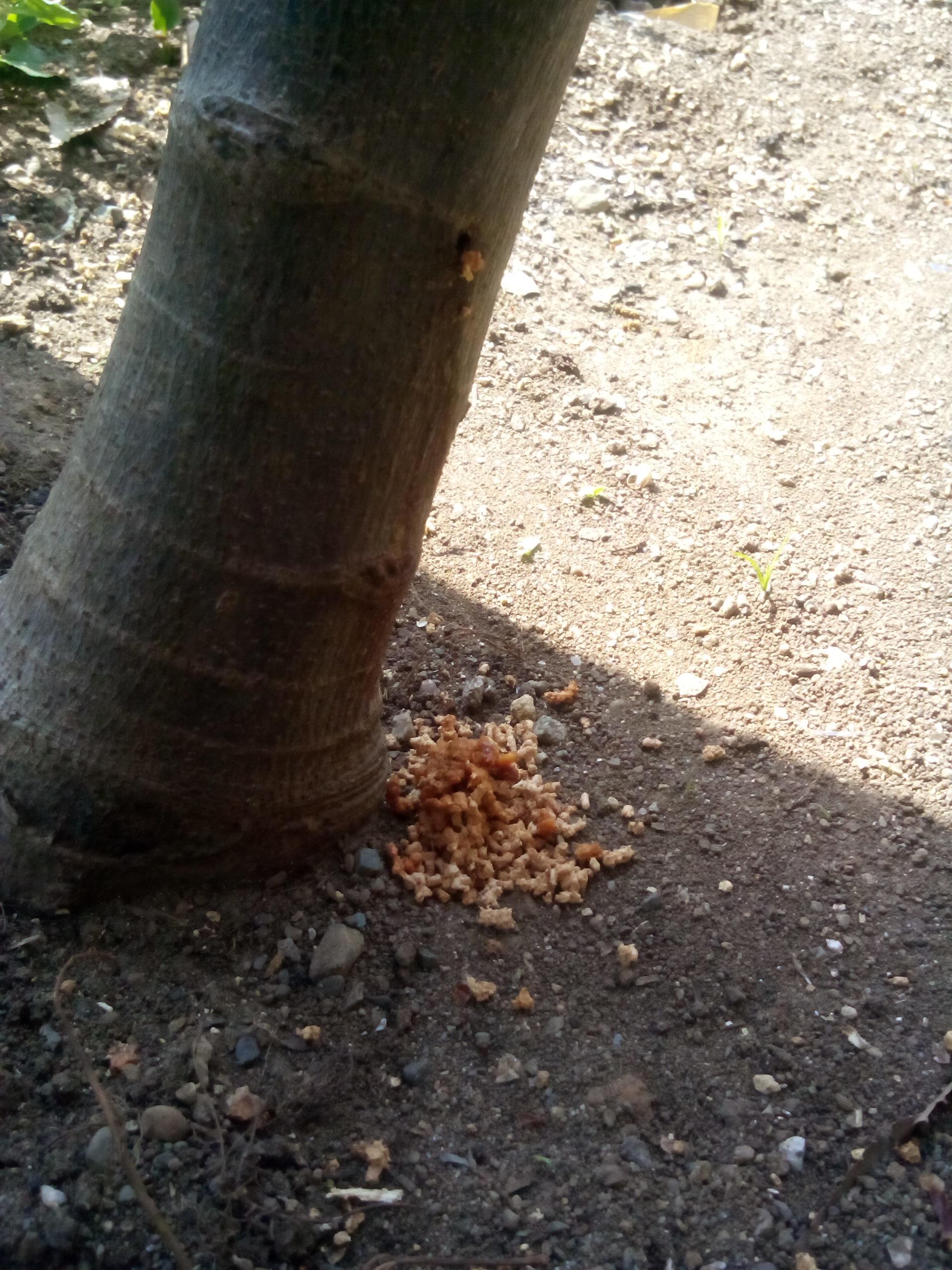 主幹の根元に木屑の様なものが?