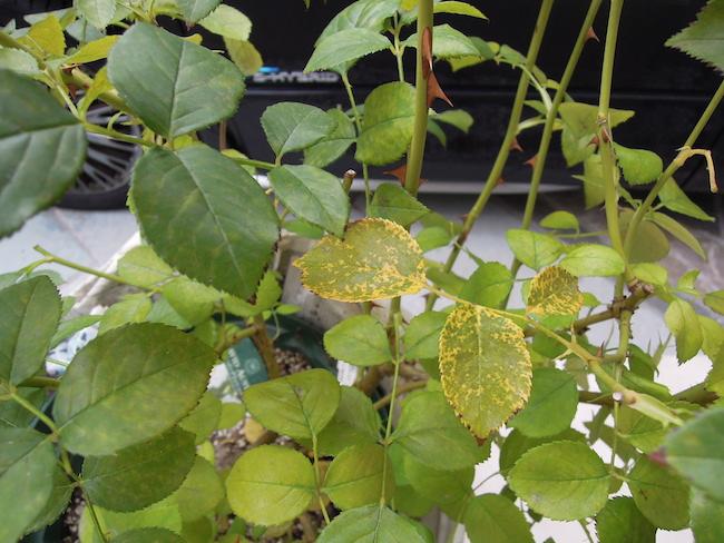 夏を越えたばらの葉色が悪い原因と対処方法