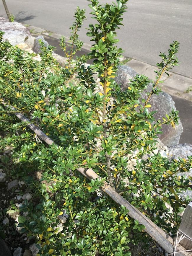 キンメツゲの葉が黄色くなって落葉する理由