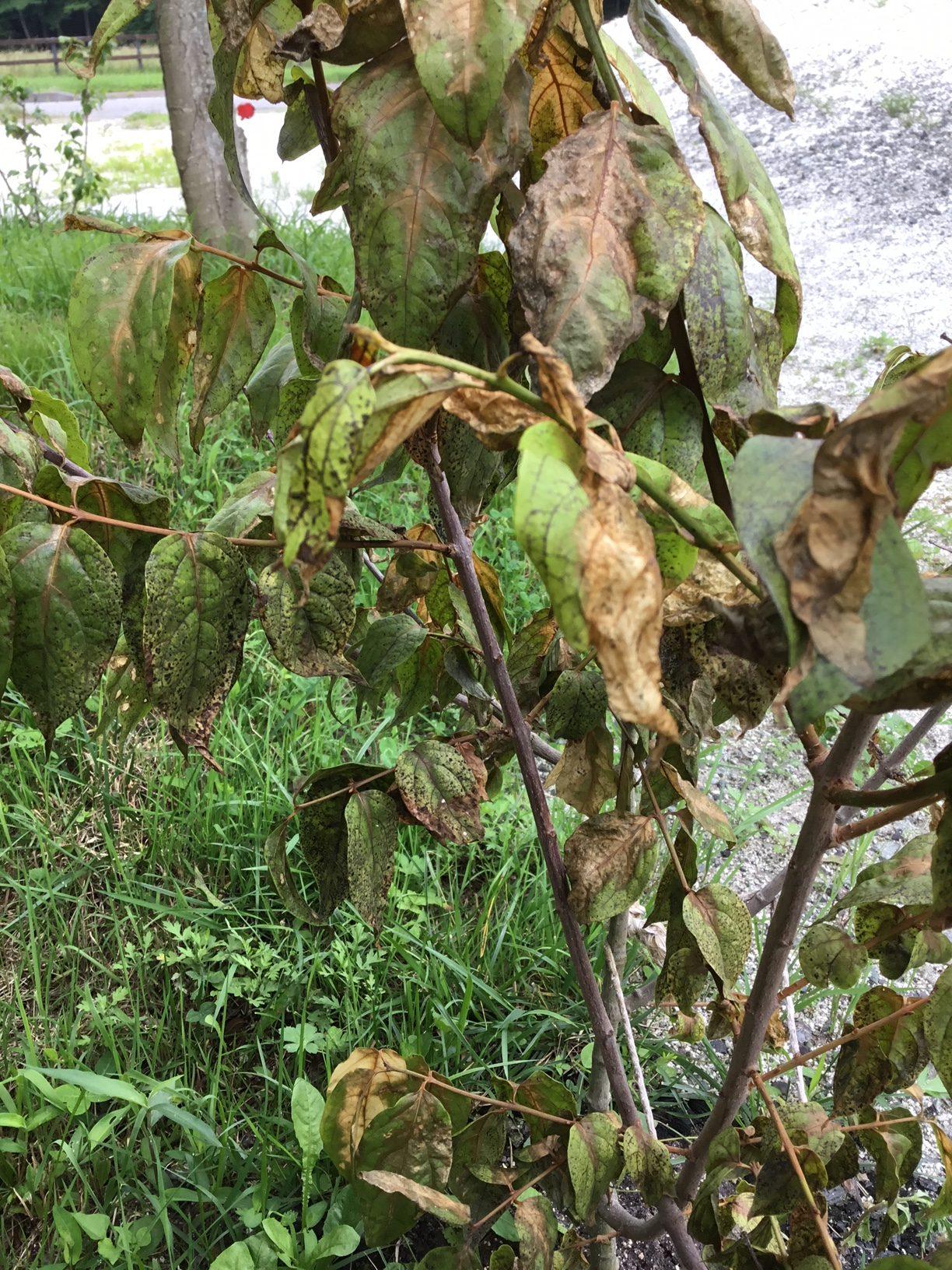 ロウバイの葉にシミが出る病気について