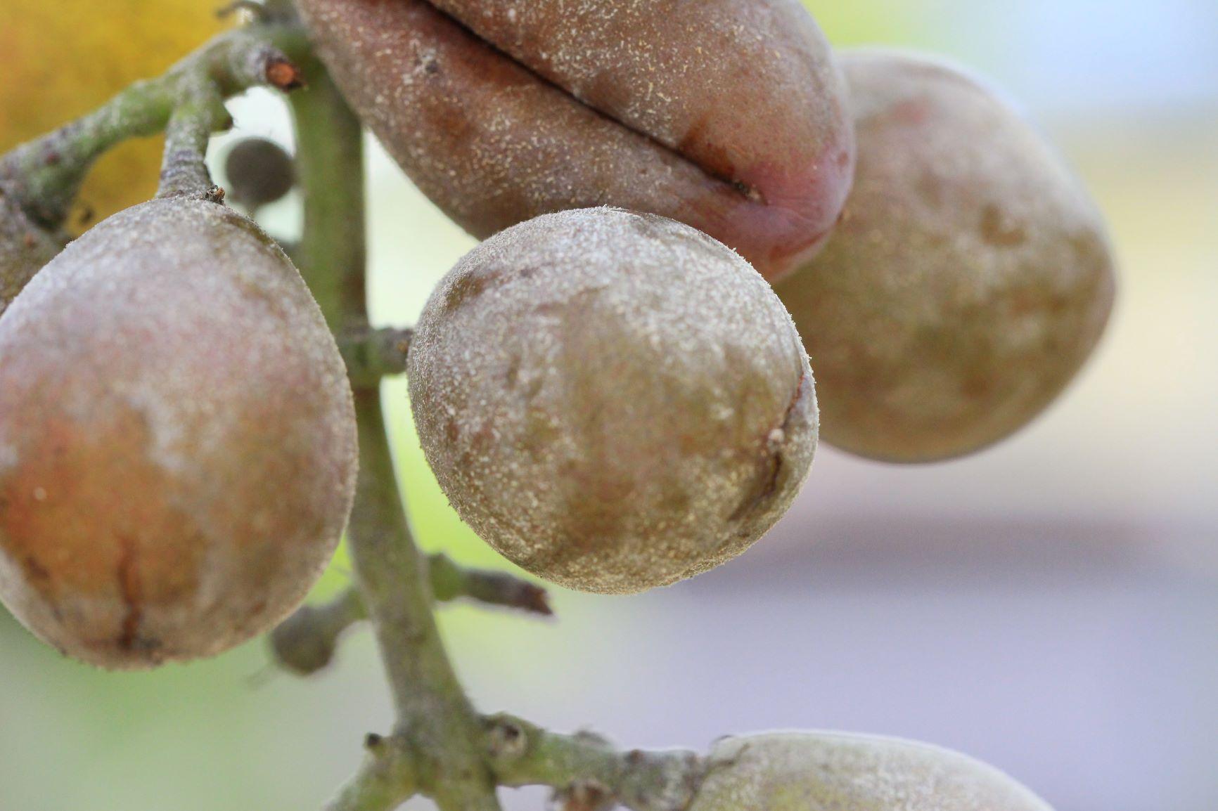 ぶどうの果実に白いカビがつく病気 ベト病