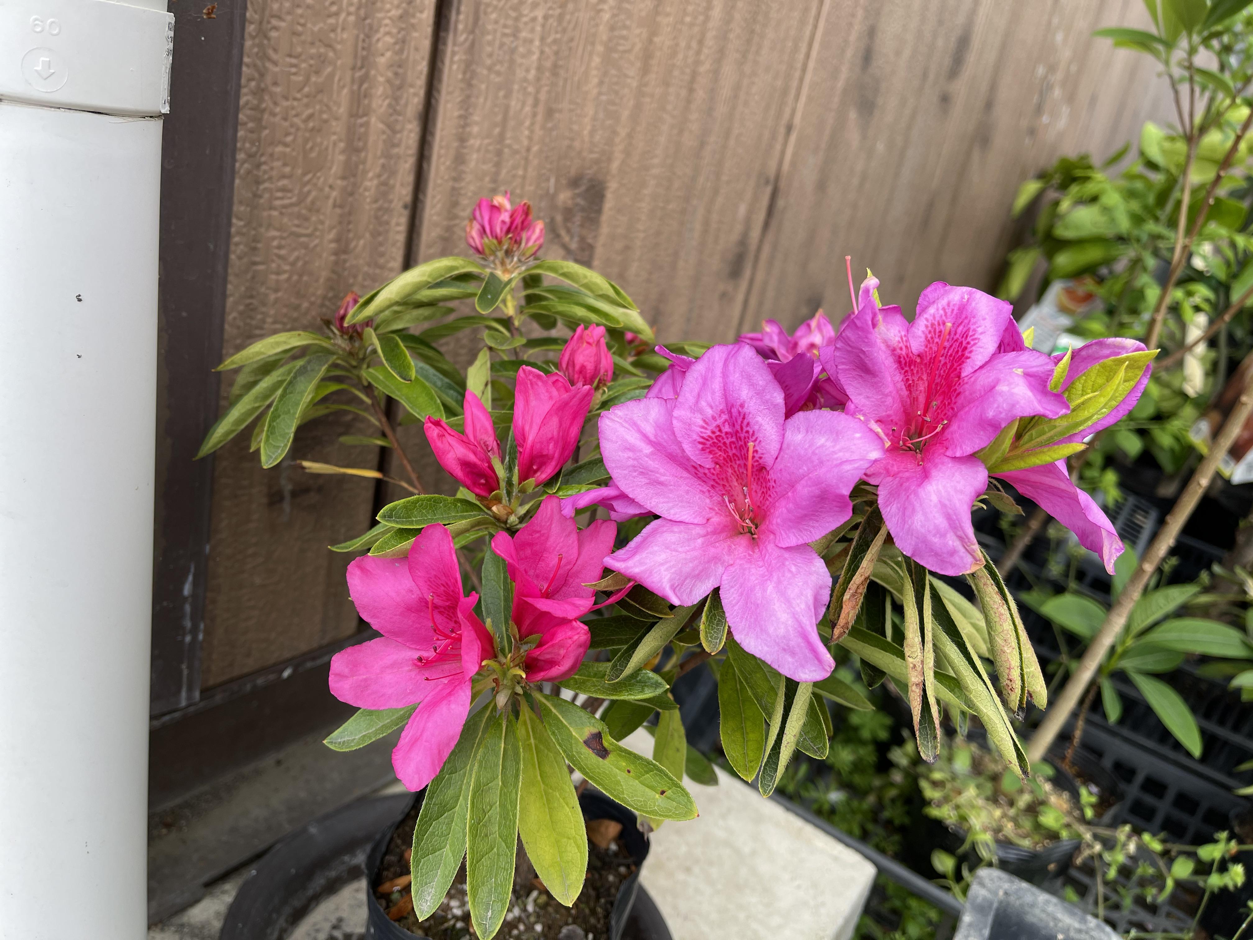 ツツジの花色が違う花が咲いた理由とは?
