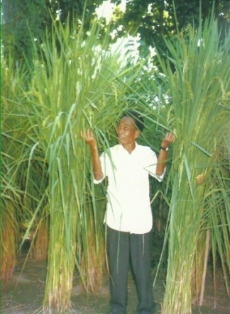 Tallest Paddy Plant in the World Guinness World Records