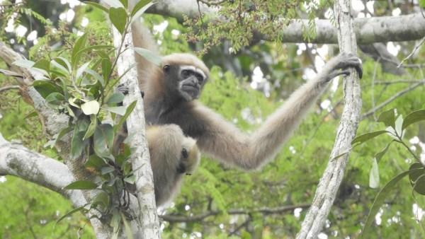 Meghalaya's community-managed forests protect endangered Western Hoolock Gibbon