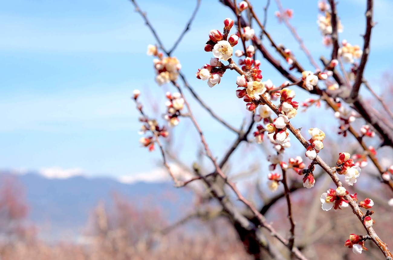 Apricot blossoms in Nagano