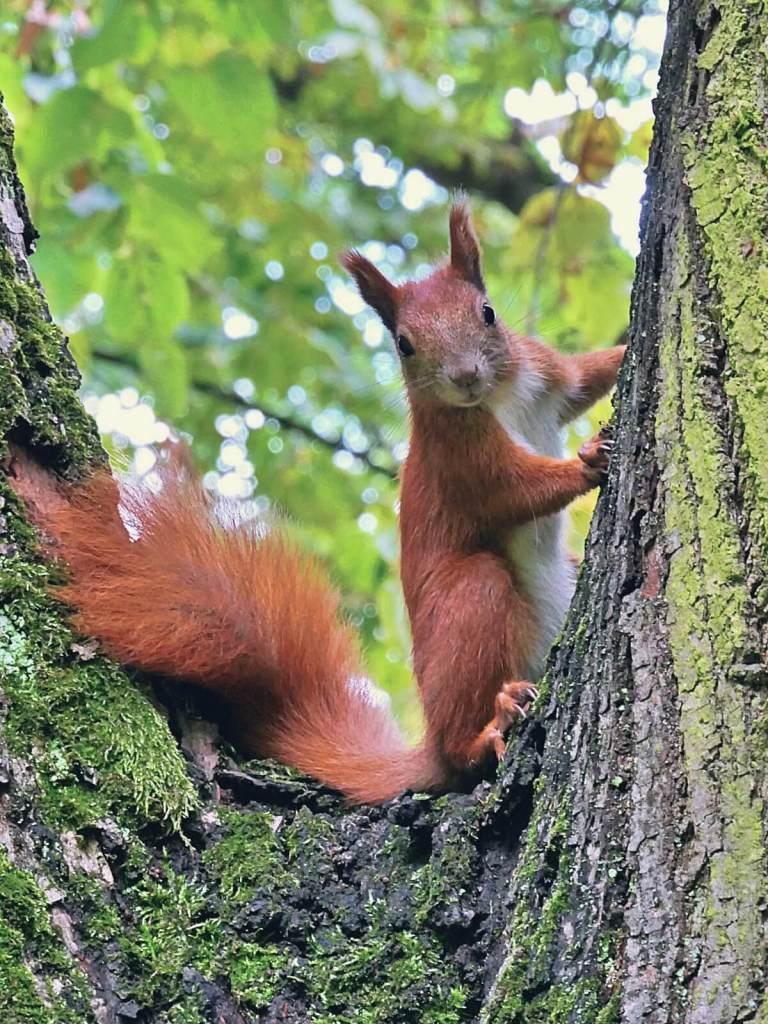 Baśka to imię nadane warszawskim wiewiórkom.