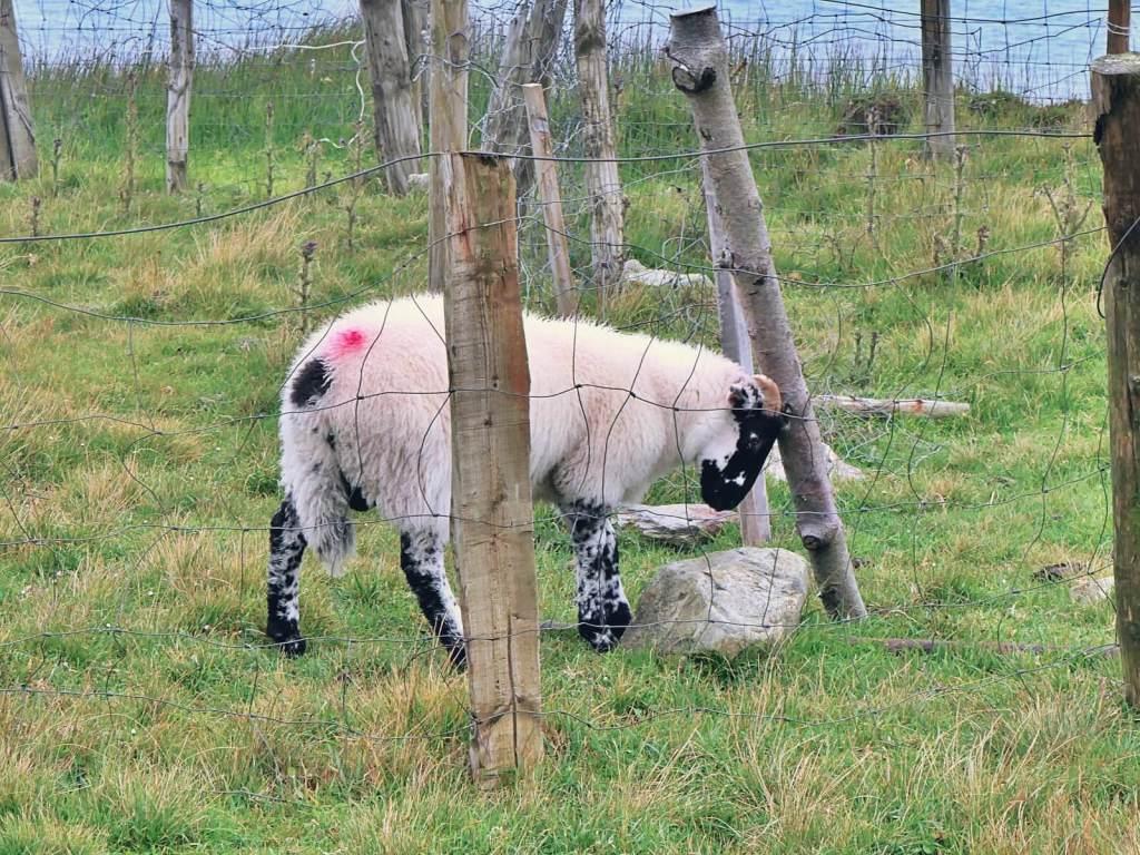Owca na klifach w Irlandii.